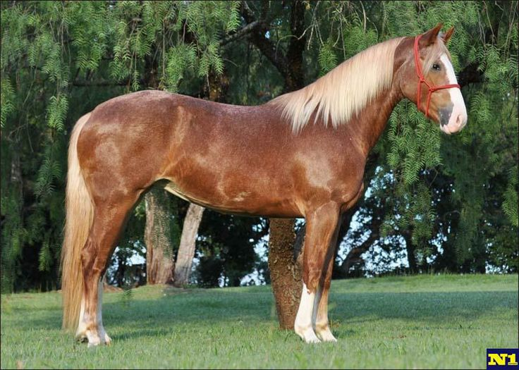 Creole announce the sale in N1 market horses, lasso, double calf