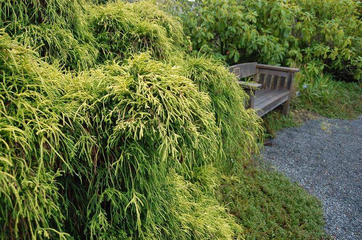 Chamaecyparis pisifera filifera 'Aurea'