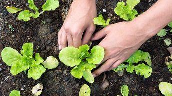 Met deze tips en trucs is sla kweken helemaal niet moeilijk en je hebt snel resultaat. Over een paar weken loop je al met een mesje door je tuin om wat verse blaadjes voor de lunch te snijden! De bodem Sla houdt van vruchtbare grond. In het voor- en najaar is het belangrijk dat de…