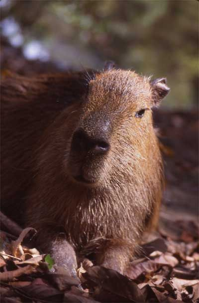 Capybara is the world's largest rodent.