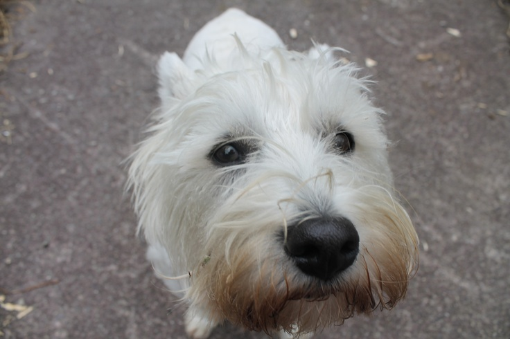 Westie with a big head Fed on Seahorse Atlantic dog supplement #dog #supplement #healthy #pet