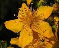 St John's wort is widely known as an herbal treatment for depression. In some countries, such as Germany, it is commonly prescribed for mild depression, especially in children and adolescents. Standardized extracts are generally available over the counter (300mg recommendation), though in some countries (such as the Republic of Ireland) a prescription is required. Extracts are usually in tablet or capsule form, and also in teabags and tinctures.
