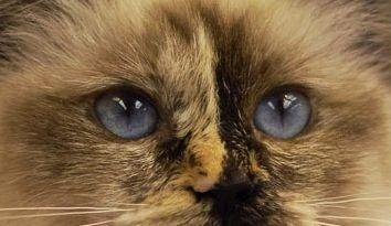 """Résultat de recherche d'images pour """"maladie des griffes du chat"""""""