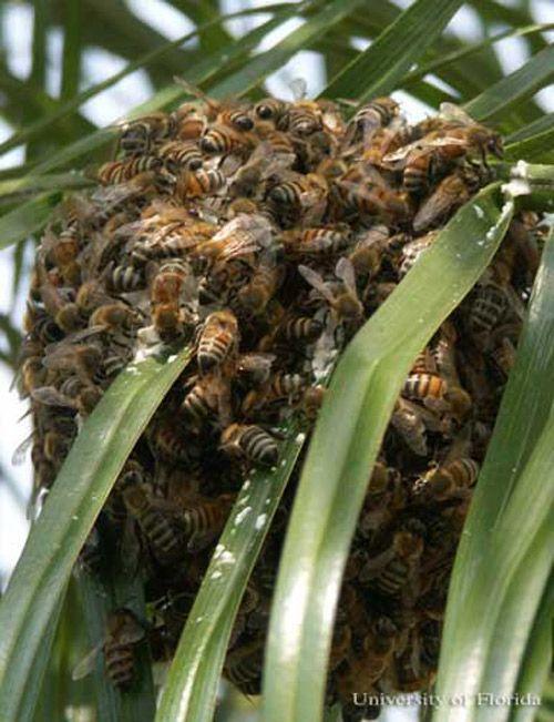 African honey bee, Apis mellifera scutelatta Lepeletier, swarm on palm fronds