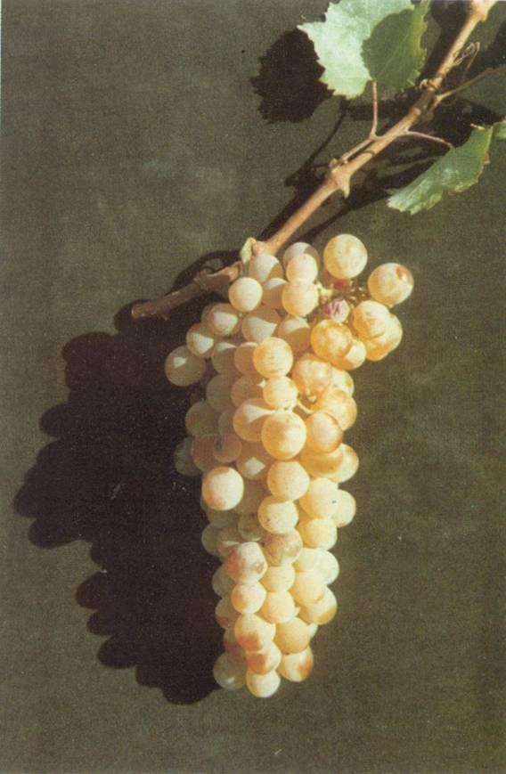Assyrtiko, Greek grape