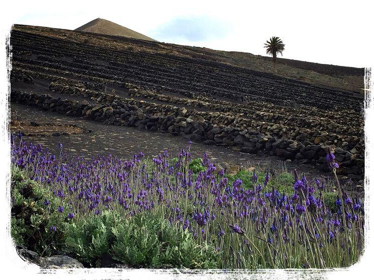 Lavanda & volcanoes in Lanzarote