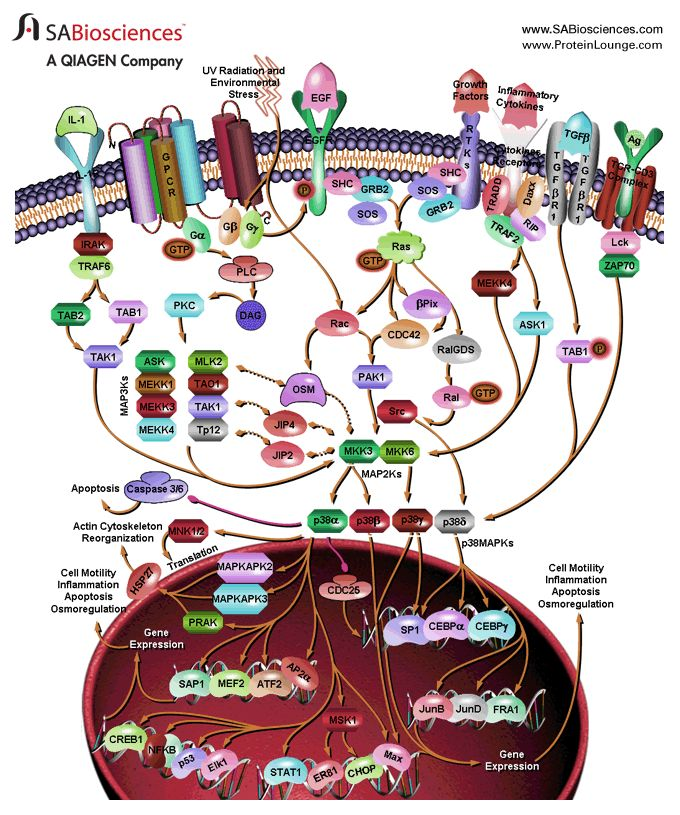 P38 Signaling:  Cellular responses to many external stimuli involve the activation of several types of MAPK (Mitogen-Activated Protein Kinase) signaling pathways. MAPKs are a family of Serine/threonine kinases that comprise 3 major subgroups, namely, ERK (Extracellular signal–Regulated Kinase), p38 MAPK and JNK (c-Jun N-terminal Kinases).  Despite the diversity in function and upstream signaling events, MAPKs are....    http://www.sabiosciences.com/pathway.php?sn=P38_Signaling