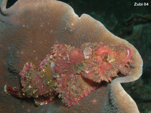 http://www.starfish.ch/Fotos/cnidarians-Nesseltiere/corals-Korallen-Anthozoa/hexacorallia-Hexakorallen/hard-corals-Steinkorallen/Tubinaria-m...