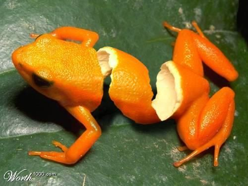 frog: Fruitart, Photos Manipulation, Graphics Design, Fans Art, Orange Frogs, Orange Peel, Fruit Art, Fruit Animal, Peel Frogs