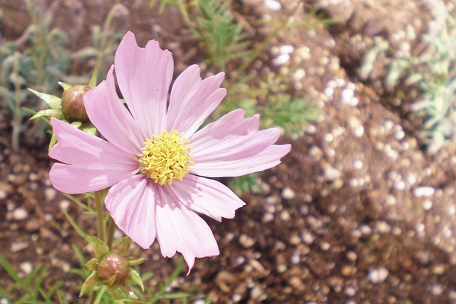 cosmo by batwit: Batwit, Cosmo, Beautiful, Daisies