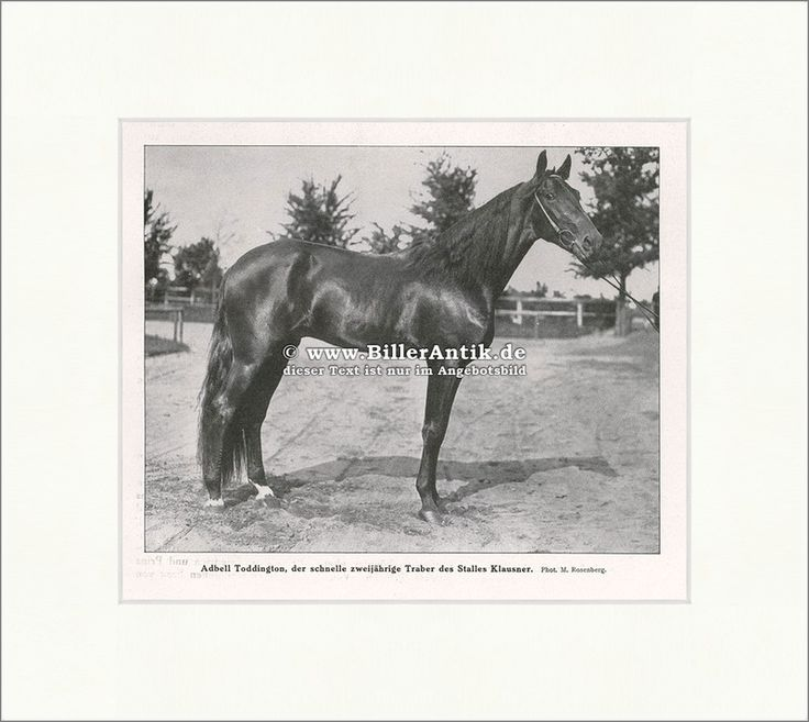 Adbell Toddington, zweijähriger Traber Pferde Zucht Klausner F Original 01072 - Billerantik