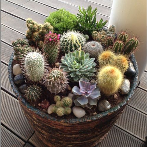 20-CACTUS-MIX-Seeds-Giganteus-RARE-varieties-beautiful-gardens/32238375949.html *** More info could be found at the image url.