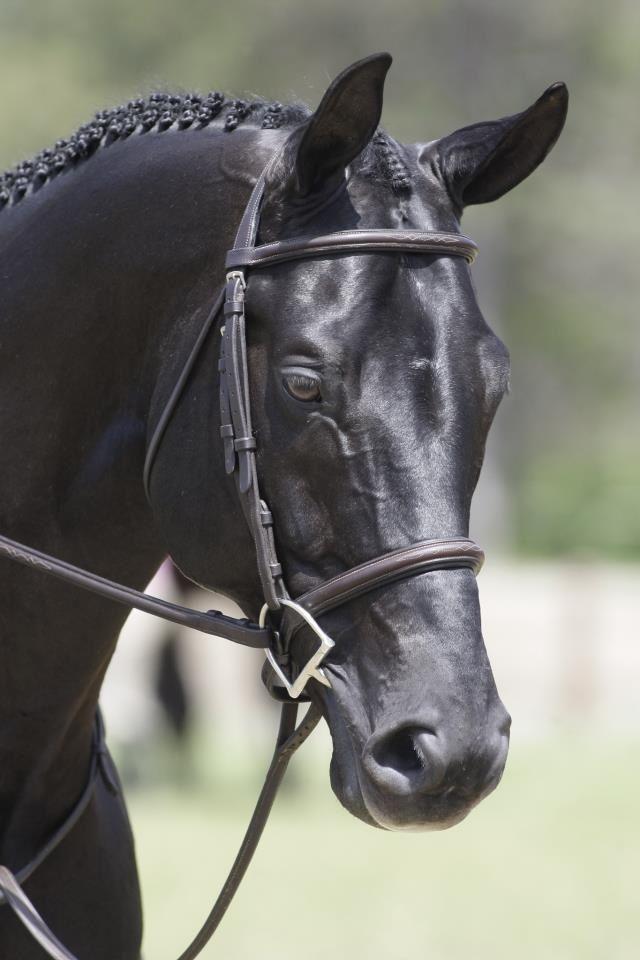 Sir Wanabi - Warmblood stallion
