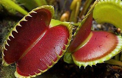 Venus Flytrap Plant (10 Seeds)