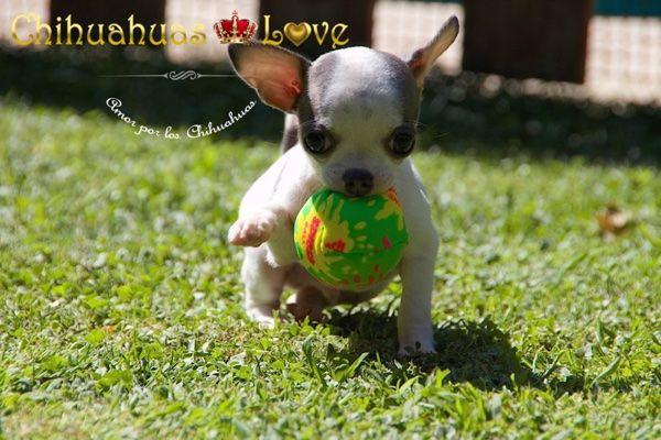 Chihuahuas Love - Nuevas Fotos y Video Cachorro Takito. Venta de Chihuahuas.