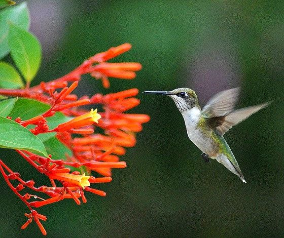 Hamelia Patens Firebush Hummingbird Bush 30 Seeds By