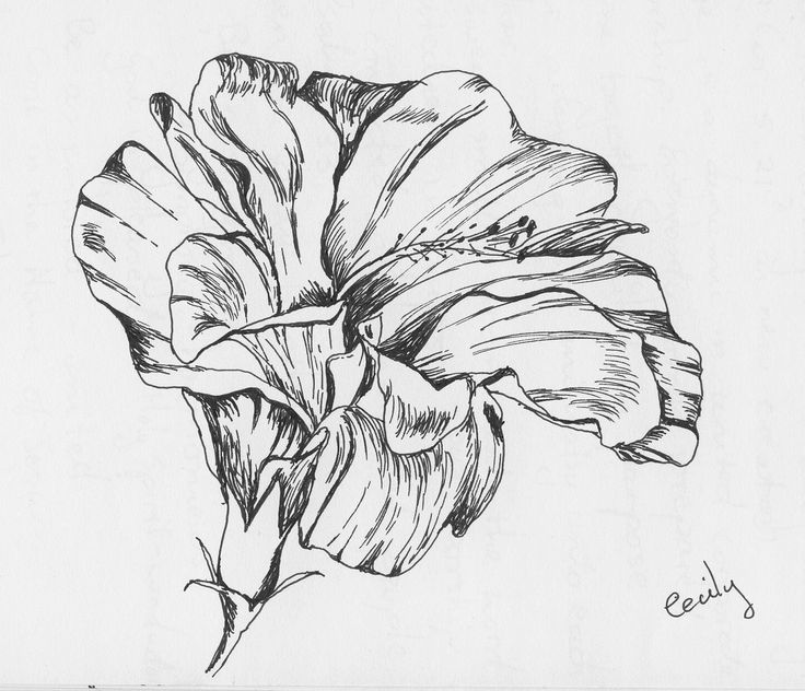 Hibiscus Flower Line Drawing : Best flowers hibiscus images on pinterest