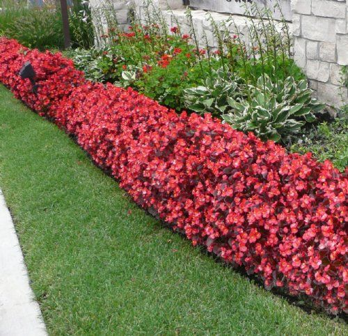 Begonia flower bed gardening pinterest front yards for Front garden plants