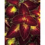 Proven Winners 4-Pack, 4.25 in. Grande ColorBlaze Dipt in Wine Coleus (Solenostemon) Live Plant, Deep Red and Green Foliage-COLPRW1097524