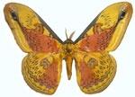 leopa oberthuri