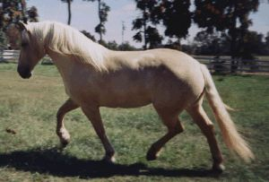"American Cream Draft breed was inspired by a cream draft mare in Iowa named ""Old Granny"" at the turn of the 20th century."