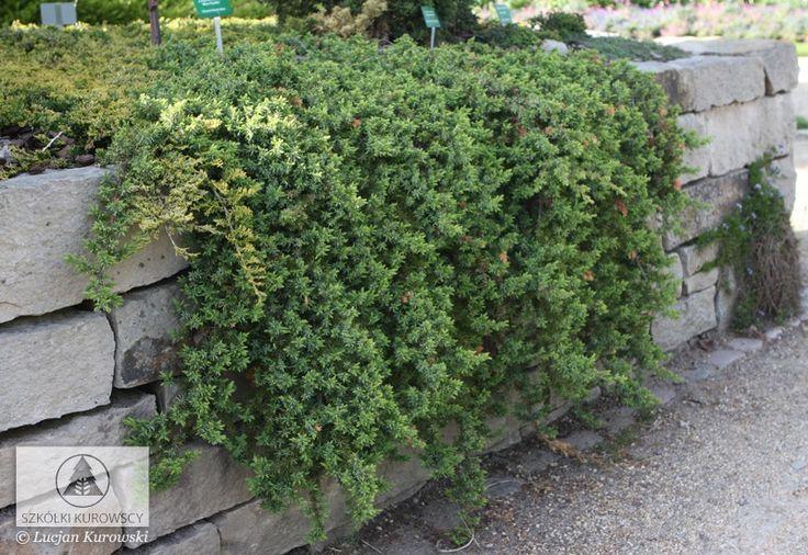 juniperus conferta blue pacific - Google Search