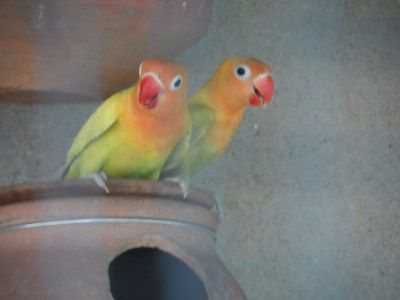 Eyes Infection in Lovebirds. It's Causes and Treatment
