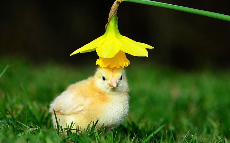 Easter bonnet: An adventure into the outdoors for this newly-hatched chick at West Lodge Farm Park at Desborough, Northamptonshire.
