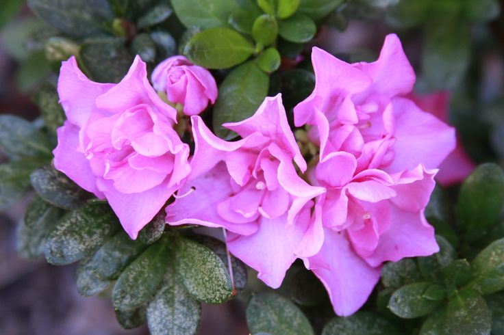 Haven't identified the flower yet. Is it an Azalia? © Johan Ramerman (Australia). Canon EOS 40D + Canon EF 28-135mm lens. Aperture f/5.6 | shutter speed 1/125 | ISO 800 | 109 mm focal length.