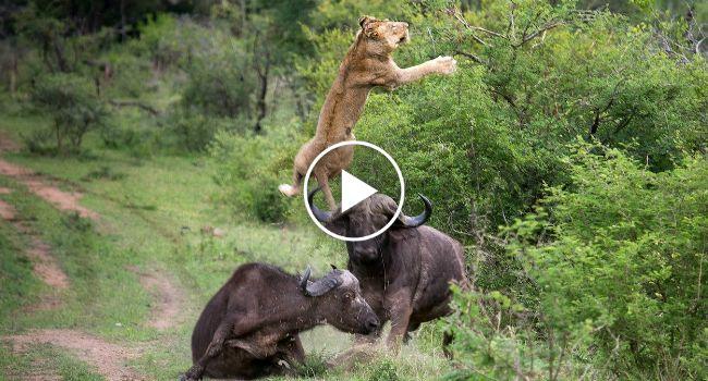 Búfalo Defende Amigo De Terrível Ataque De Um Leão http://www.desconcertante.com/bufalo-defende-amigo-de-terrivel-ataque-de-um-leao/