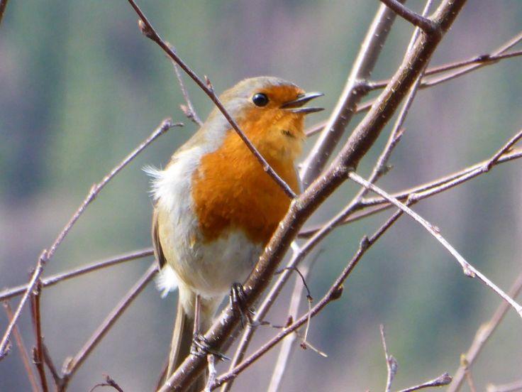 Robin by Loch Lochy