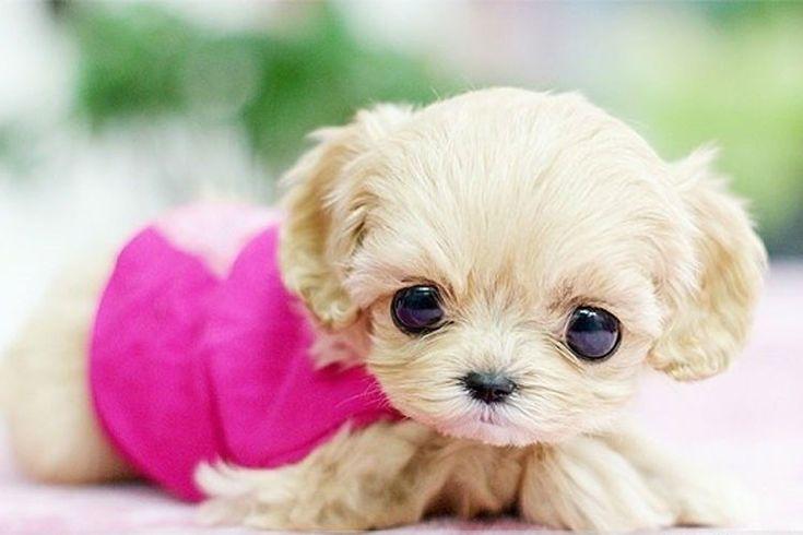¿Te gustaría tener un perro toy? Descubre las fotos más adorables de perros miniatura. Las razas más populares son: Bichon, Caniche, Chihuahua, Yorkshire Terrier