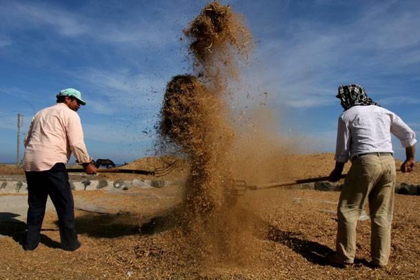 Σαντορινιοί παραγωγοί φάβας την ώρα που λιχνίζουν - Fava producers in Santorini