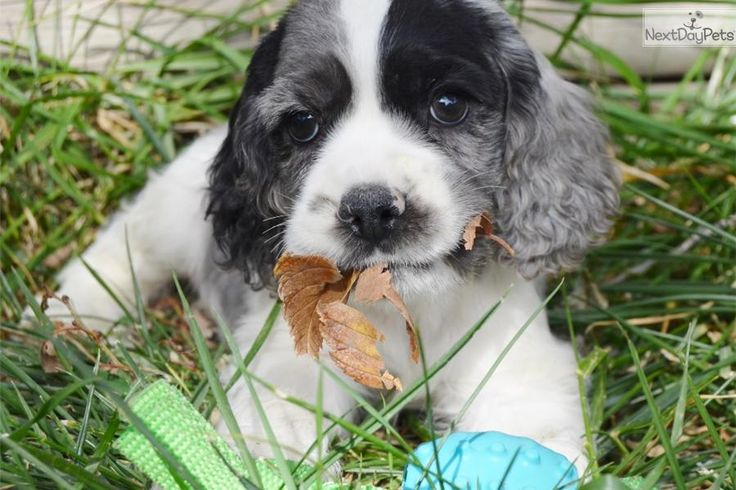 Blue Merle Cocker Spaniel Breeders | Blue Merle Cocker Spaniel Puppy for sale | Blue Male Cocker Spaniel ...