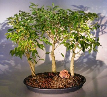 23 best images about bonsai trees for sale in the usa on pinterest trees bonsai trees and. Black Bedroom Furniture Sets. Home Design Ideas