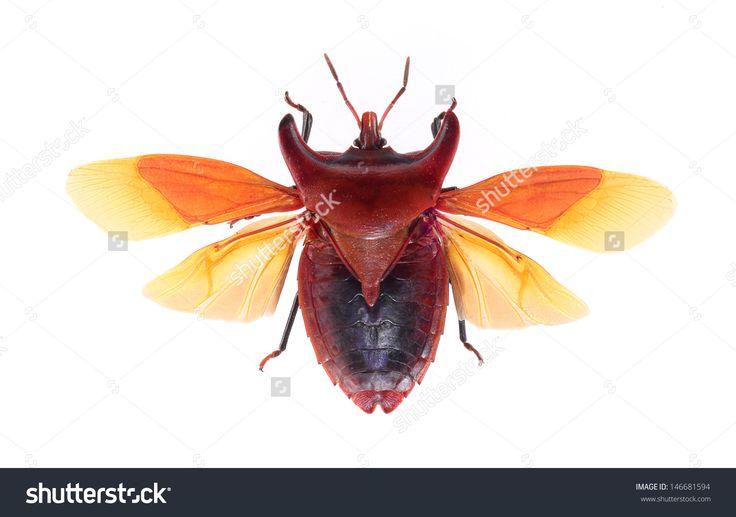 stock-photo-bug-isolated-on-white-background-eurypleura-bicornis-146681594.jpg (1500×1055)