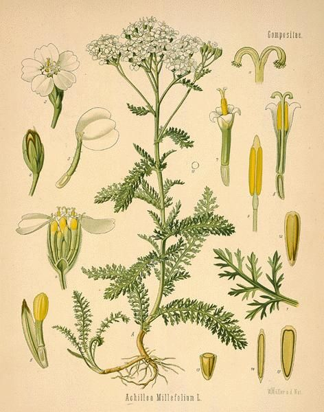 "Achillea milleflorium The genus name, Achillea derives from Greek mythology. Achilles, hero of Homer's ""Iliad,"" had been a student of Chiron, the centaur renowned for his knowledge of medicinal her..."