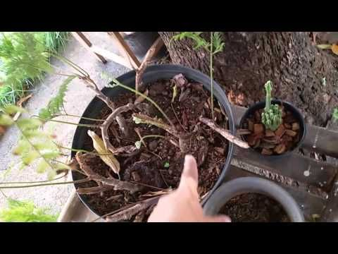 cultivo renda portuguesa - YouTube
