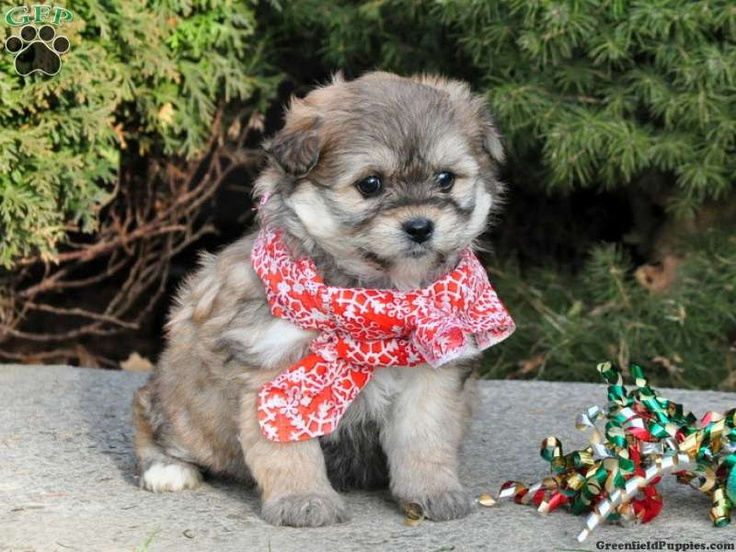 Lanty, bichonaranian puppy for sale from Paradise, PA