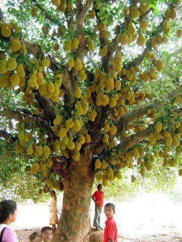 Amazing Jack fruit tree