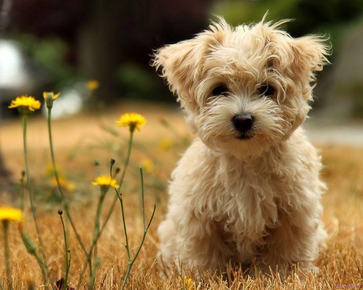 maltese poodle  pics | ... maltese, mother is a very pets qmaltesepoodle maltipoo maltese poodle