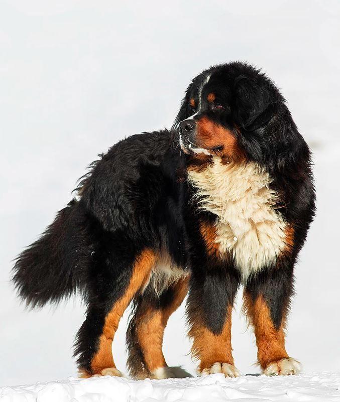 Gianmarco Spagnoli Bernese Mountain Dog Bernese Mountain Dog Bernese Dog Dog Rocks