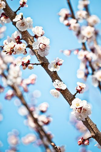 I used to have apricot tree that had those kind of flowers...