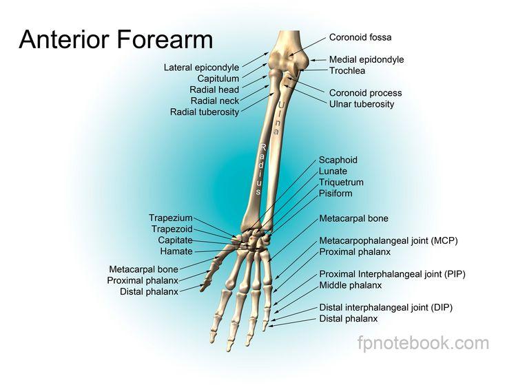 Forearm Anatomy Bones Forearm Anatomy