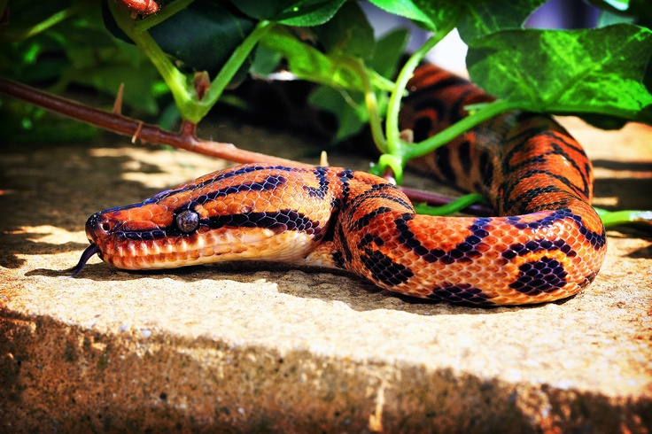 Brazilian rainbow boa at Northampton Reptile Centre ...