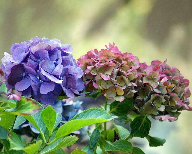 Hortensias at the end of the summer | by Cajaflez