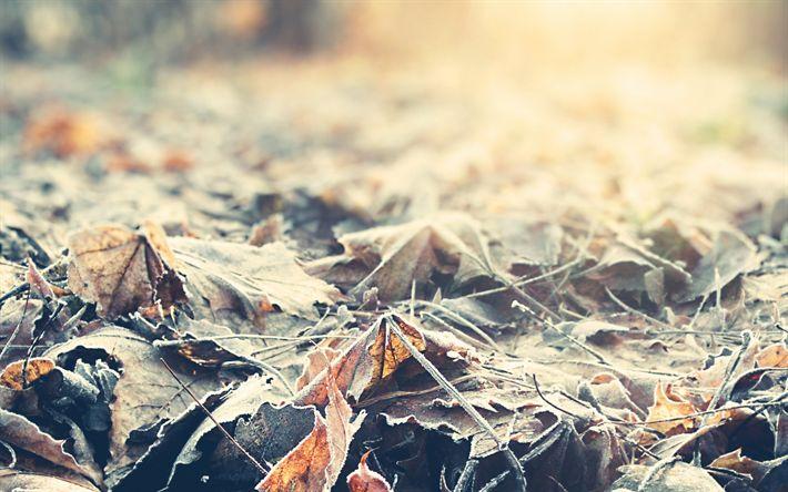Descargar fondos de pantalla el otoño, las hojas caídas, la escarcha, la mañana, las hojas amarillas, las heladas
