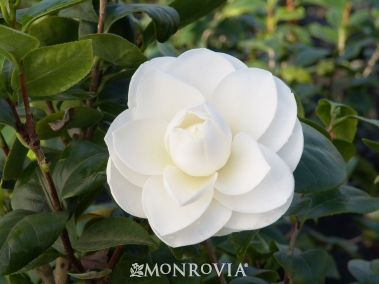 Camellia japonica 'alba plena' -- middle of front foundation bed. I fear I might regret this one, it seems a little high maintenance, but it's so pretty!