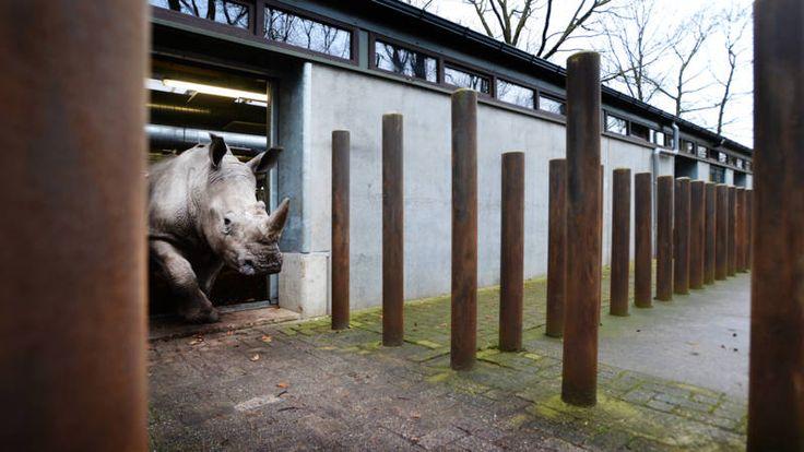 Begin maart 2017 doodden stropers in het Franse safaripark Thoiry, in de buurt van Parijs, een neushoorn en ze zaagden zijn hoorn af. Vince, een mannetjesneushoorn van 5 jaar oud, leefde tot maart 2015 in Burgers' Zoo in Arnhem. Het dier verhuisde naar Frankrijk in het kader van een Europees fokprogramma.