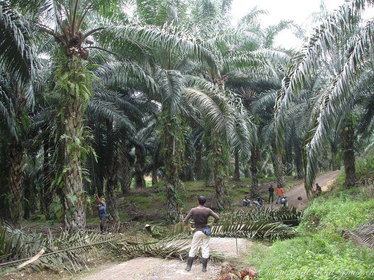 Palmölernte in Malaysia - die Produktion von Palmöl belastet die Umwelt stark und es gibt kaum nachhaltige Produktionsmethoden. Mehr dazu auf dem Blog.